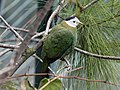 Black-naped Fruit Dove RWD2.jpg