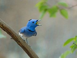 Black-naped Monarch-9097.jpg
