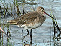 Black-tailed Godwit Cairns RWD.jpg