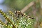 Black-tailed skimmer (Orthetrum cancellatum) female Estonia.jpg