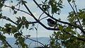 Black-throated Blue Warbler (Setophaga caerulescens) - Burlington, Ontario.jpg
