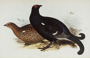 Birkhuhn und Birkhahn (Lyrurus tetrix)