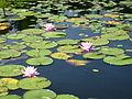 Black Moshannon Stae Park water lilies.jpg
