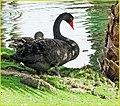 Black Swan, Palm Desert 2-22-14g (12794357945).jpg