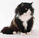 Black and white Norwegian Forest Cat.jpg