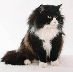 https://upload.wikimedia.org/wikipedia/commons/thumb/a/ae/Black_and_white_Norwegian_Forest_Cat.jpg/250px-Black_and_white_Norwegian_Forest_Cat.jpg