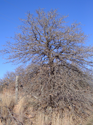 Quercus marilandica - Dormant blackjack in the Cross Timbers of Lincoln County, Oklahoma