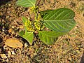 Blepharistemma serratum at Periya (24).jpg