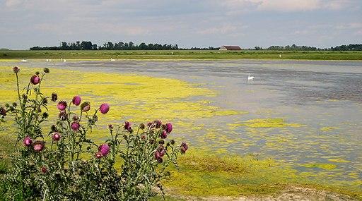 Blick auf die Lange Lacke mit Algendecke und einigen Schwänen, im Vordergrund die Nickende Distel (Carduus nutans). Nationalpark Neusiedler See-Seewinkel (UNESCO-Welterbe im Burgenland)