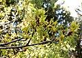 Blommande ekkvist i skogsglänta.jpg