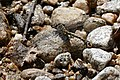 Blue-eyed Hook-tailed Dragonfly (Onychogomphus uncatus) male (20007648039).jpg
