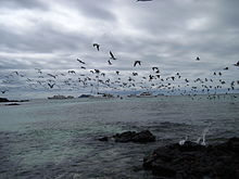 Blue-footed booby - Wikipedia - photo#26