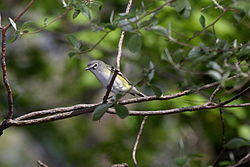 Blue-headed Vireo.jpg