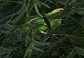 Blue-winged Leafbird (Chloropsis cochinchinensis) W IMG 1219.jpg