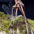 Blue Hawker. Female. Aeshna cyanea. Laying in moss on edges of pond - Flickr - gailhampshire.jpg