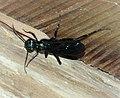 Blue Mud Wasp. Chalybion californicum. Sceliphrinae (38565629462).jpg