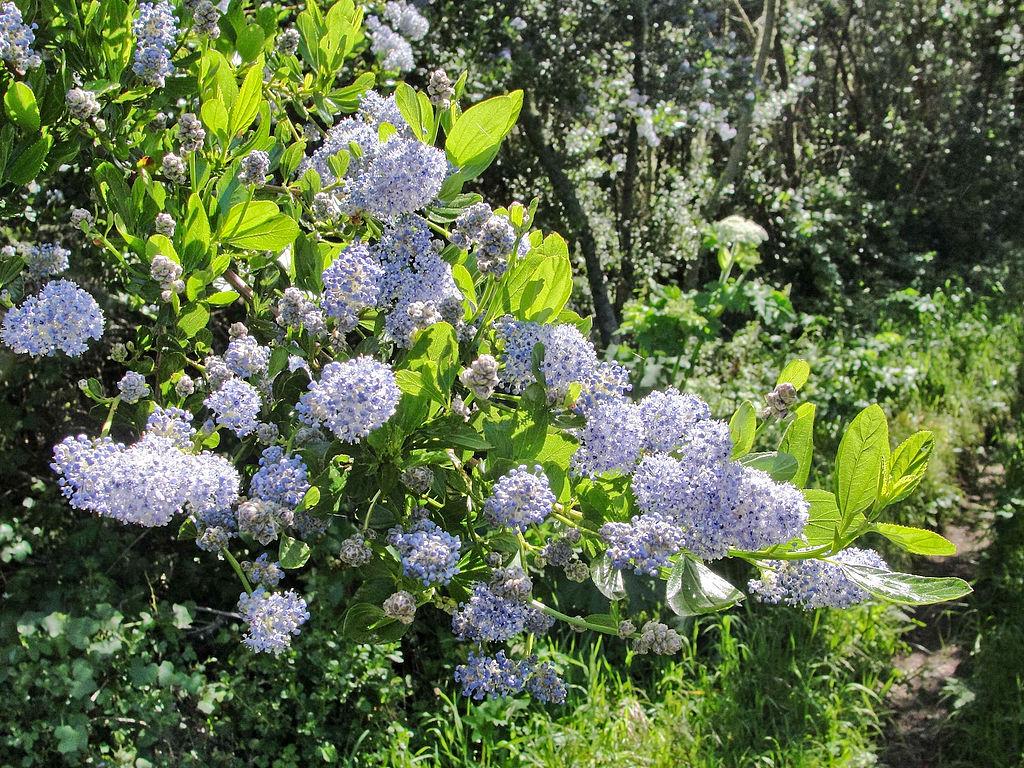 Native ceanothus wild lilac portland nursery - Arbustos para jardin ...