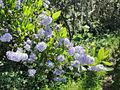 Blue blossom ceanothus (Ceanothus thyrsiflorus) on Point Reyes Fire Lane Trail.jpg