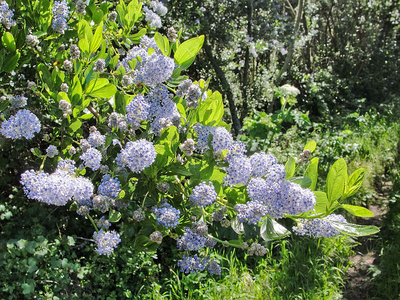 Image result for california lilac