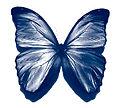 Blue morpho butterfly2 300x271.jpg