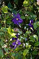 Blue purple clematis at Boreham, Essex, England.jpg