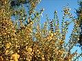 Blue skies and wattle flowers - panoramio.jpg