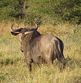Blue wildebeest from rear.jpg