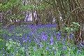 Bluebell copse - geograph.org.uk - 44099.jpg