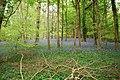Bluebell woods - geograph.org.uk - 1287807.jpg