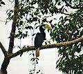 Blyth's Hornbill. Rhyticeros plicatus (48722472246).jpg