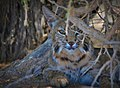 Bobcat at Sonny Bono National Wildlife Refuge (8816751130).jpg