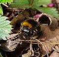 Bombus hortorum - Flickr - gailhampshire (3).jpg