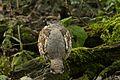 Bonasa bonasia -Bayerischer Wald, Europe-8a.jpg