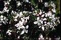 Boronia citriodora foliage and flowers.jpg