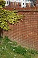 Boston Ivy on a brick wall in Cliftonville Margate Kent England.jpg