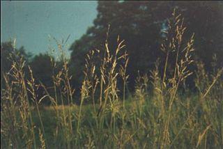<i>Bothriochloa bladhii</i> species of plant
