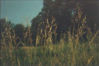 Bothriochloa bladhii - Image: Bothriochloa bladhii