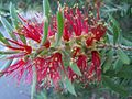 Bottlebrush Blossom Feb05.JPG