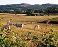 Bourgogne-charolais-cattle.jpg