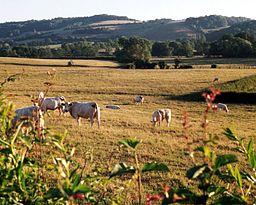 Charolais-kvæg i et landskab i Bourgogne