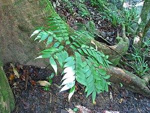 Bowenia spectabilis - Image: Bowenia spectabilis Mossman 2