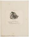 Brachyurus ouakari - 1700-1880 - Print - Iconographia Zoologica - Special Collections University of Amsterdam - UBA01 IZ20200253.tif