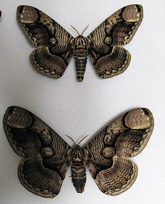 Brahmaea wallichii - Mounted pair