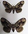 Brahmaea wallichii pair.JPG