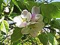 Bramley Apple Blossom - geograph.org.uk - 1273676.jpg
