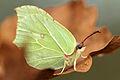 Brimstone Butterfly (8109894034).jpg
