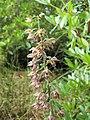 Broad-leaved Helleborine (Epipactis helleborine) - an orchid - geograph.org.uk - 921729.jpg