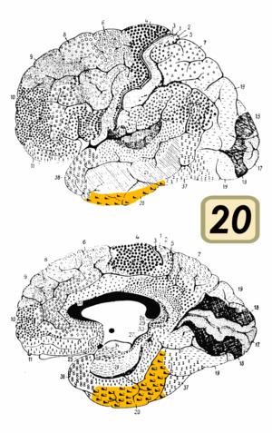 Brodmann area 20 - Image: Brodmann Cytoarchitectonics 20
