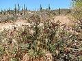 Bromus rubens in the Sonoran Desert (34010498264).jpg