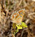 Brown Argus. Aricia agestis - Flickr - gailhampshire (1).jpg